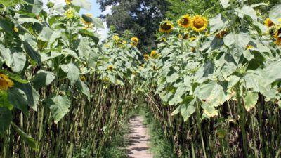 Highrowssunflowers625x qdsf89