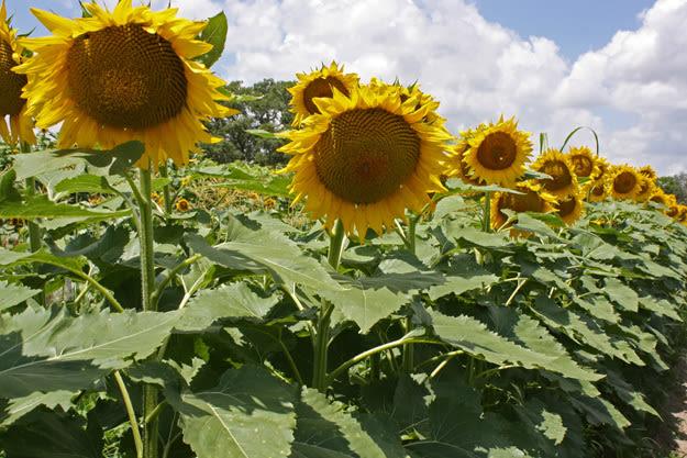 Goodrowsunflowersbest 625x wcs79i