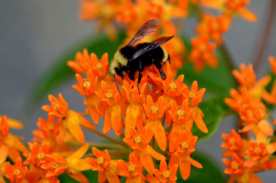 Butterfly weed jxheuv