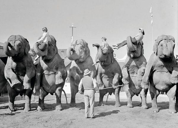 Elephant trainer Walter McClain with elephants.