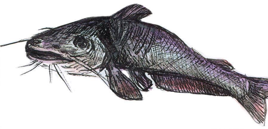 Catfish joz0oc
