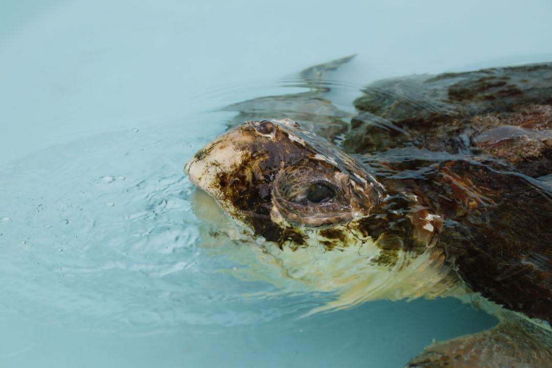 Connor, an adult male loggerhead sea turtle, received treatment for lethargy and skin erosion at Mote's Sea Turtle Rehabilitation Hospital.