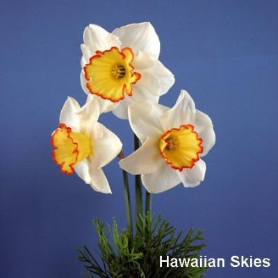 Hawaiianskies qtmzmi