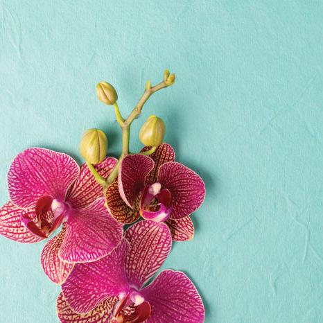 Hi opener orchid amvk70