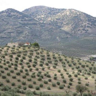 Olive trees nb3ma6