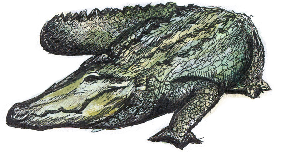 Alligator pcflwm