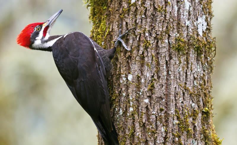 Woodpecker onnhxk