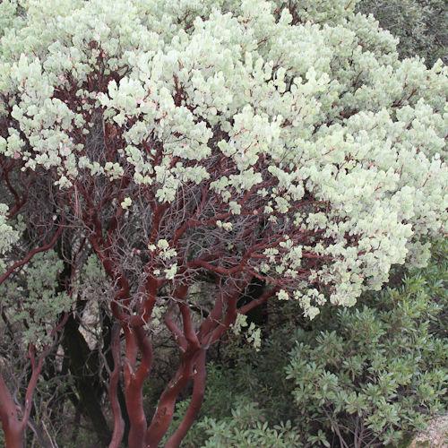Arctostaphylos manzanita ssp. glaucescens yzhn3a