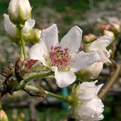 Asianpearhosuiflower o9ij0u