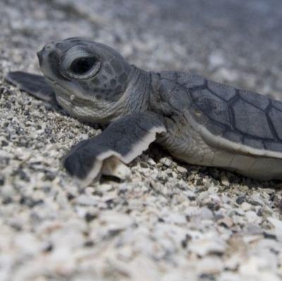Mote sea turtles o9xioj