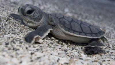 Mote sea turtles ee5xvd