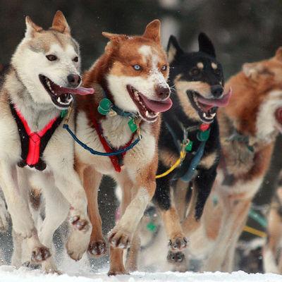 Dog sled qrzrya