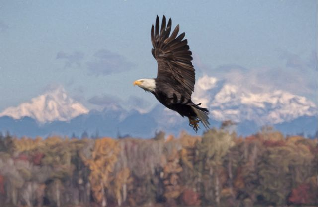 Eric ellingson   bald eagles flying over semiahoo bay in northern washington are common sights during the wings over water birding festival. kzinj1