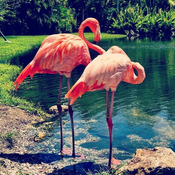 Flamingos kpgp30