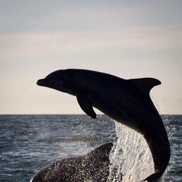 Dolphin mk4tex