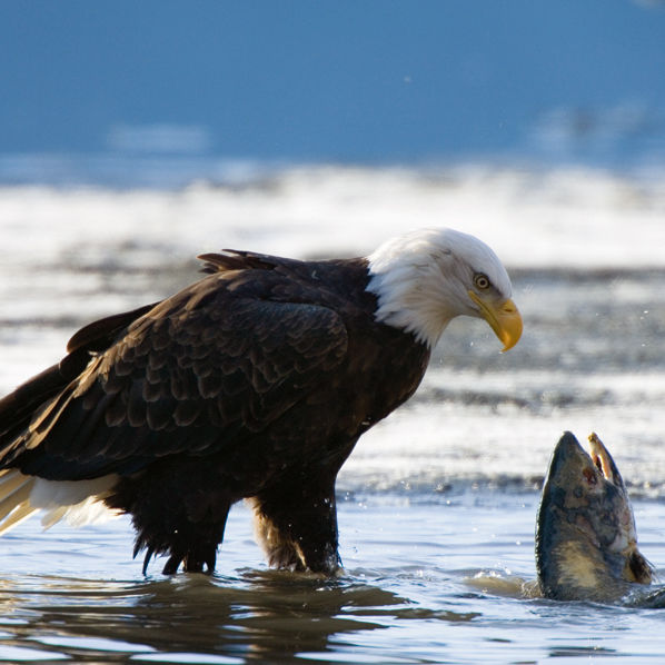 Gulick tongass eagle salmon pxqn2t