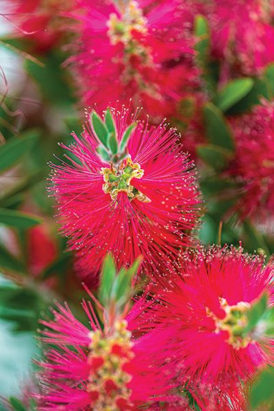 A bottlebrush tree (Callistemon citrinus)