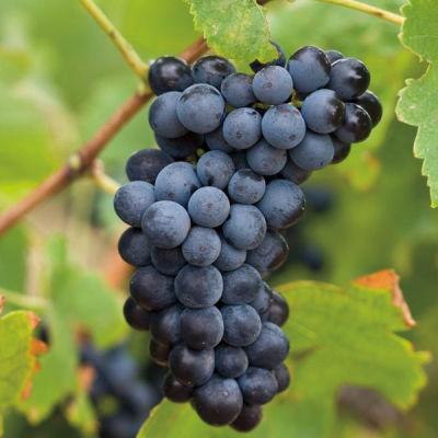 Grapes gqp10h