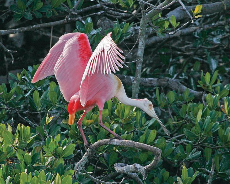 Roseate spoonbill ny rick greenspun in0gvs
