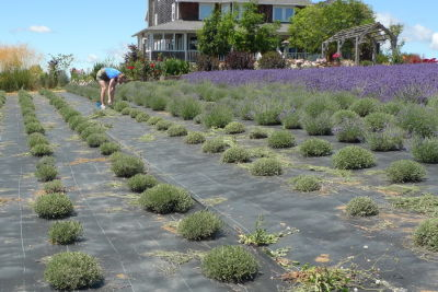 Lavender pruning stages akcszh