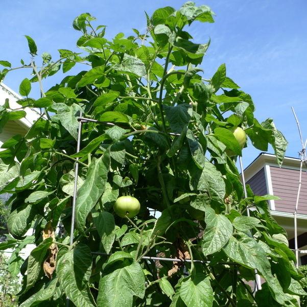Brandywine tomato  fvmo9o