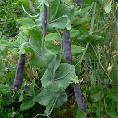 Purplepeas bfaynw
