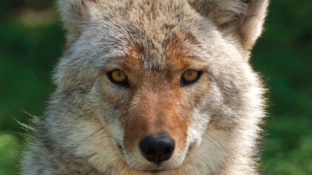 Pomo 1016 pdx index coyotes 2 pz9cot