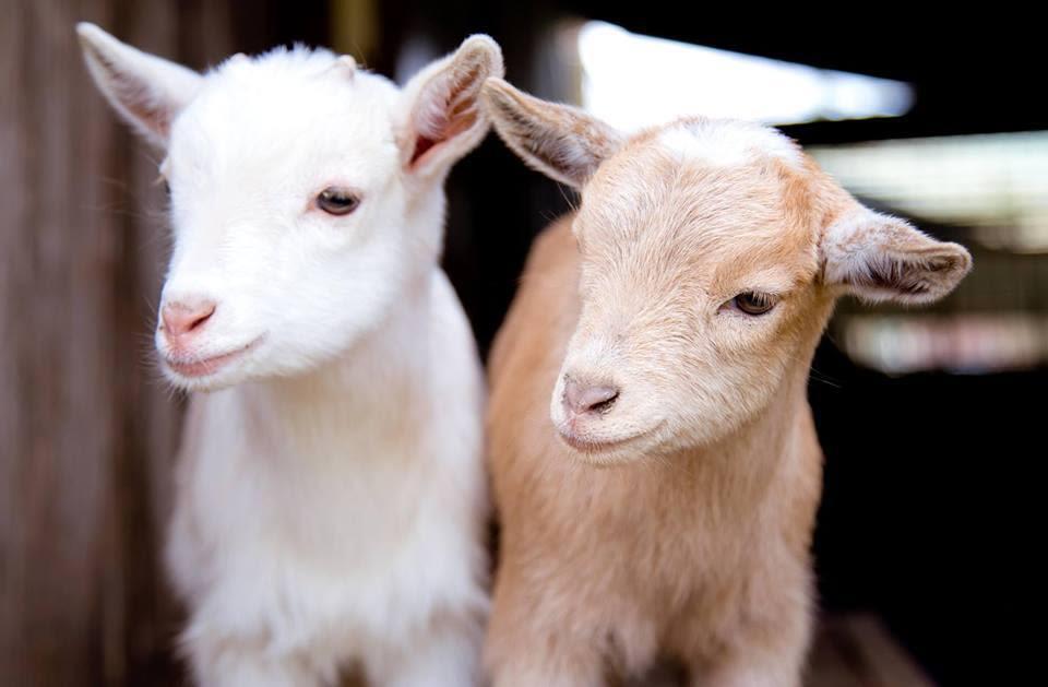 Goats brews v65dzw