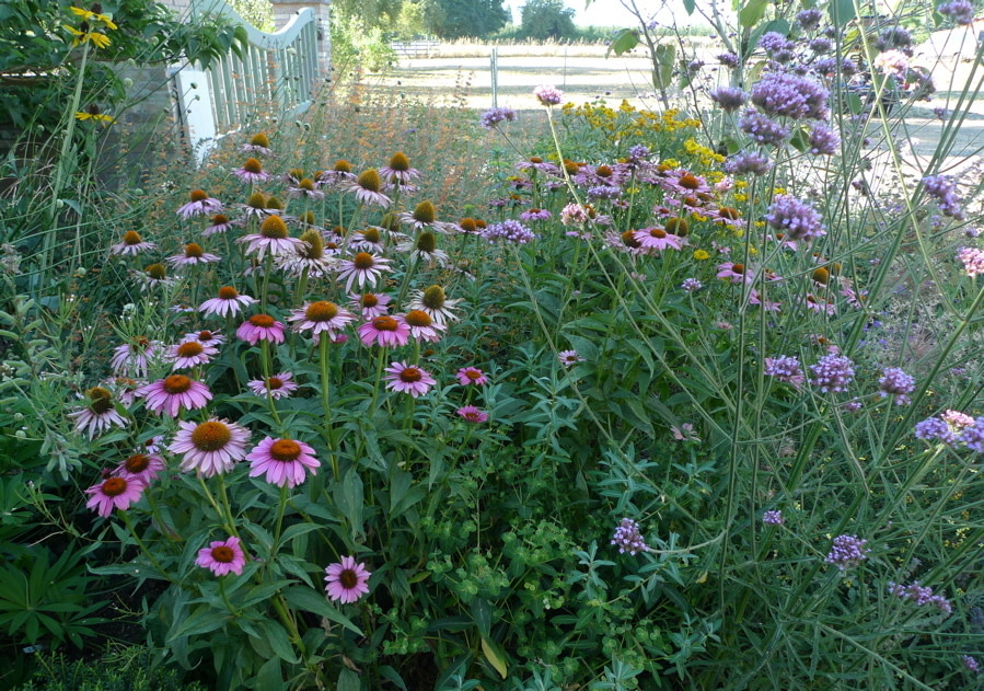 Showy Late Summer Blooming Perennial Flowers Portland Monthly
