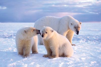 0806 032 mud polar bears cko8ru
