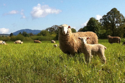 Sheep organic farms portland lfxmzk