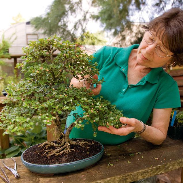 08 julyaug hand 123 bonsai woman yfvdsr