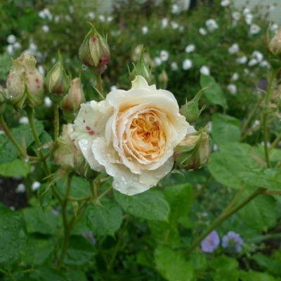 Swan rose bajqoe
