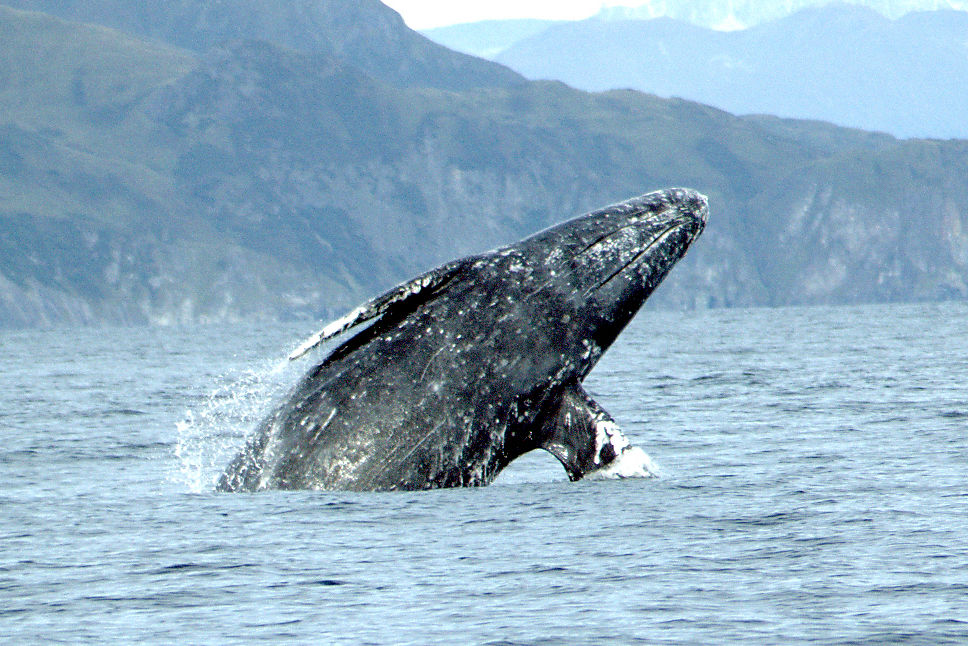 Gray whale merrill gosho noaa2 crop guv9dx