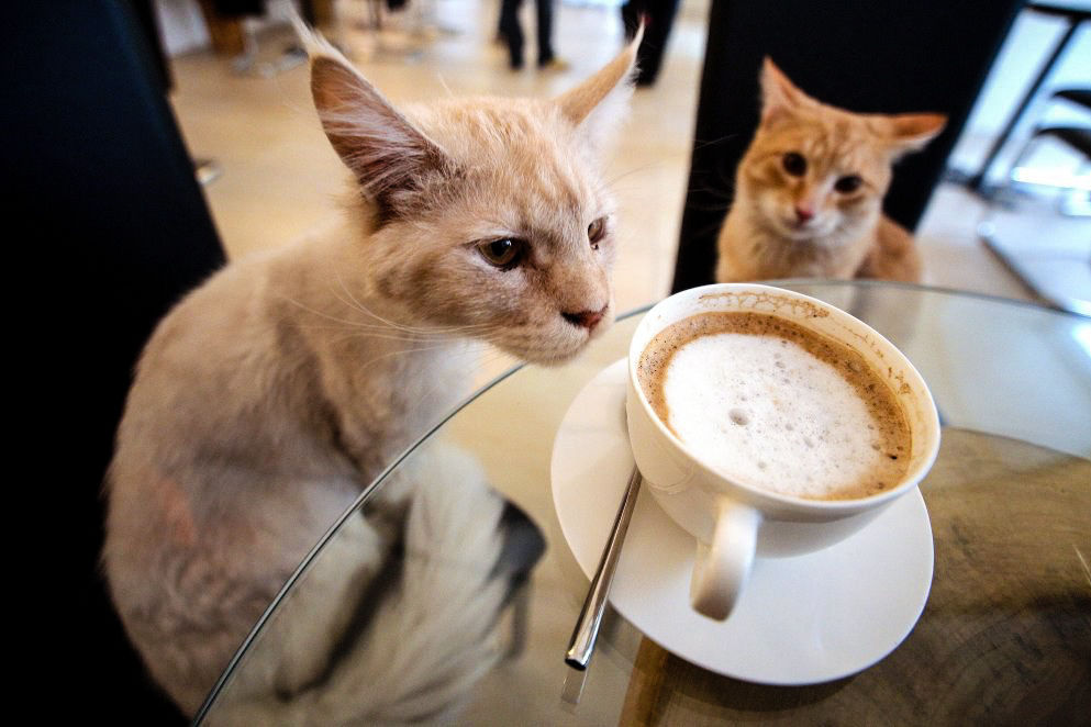 1 cat cafe the plaid zebrajpg wiidpu