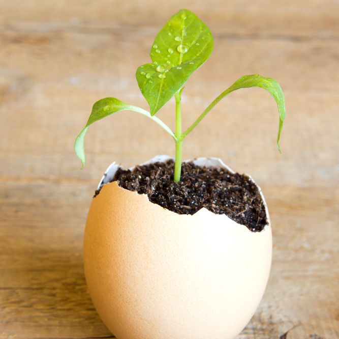 Eggshellseedling sxfto2