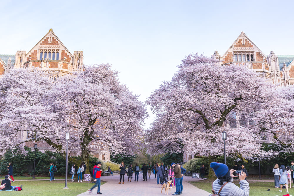 University of Washington cherry blossom trees