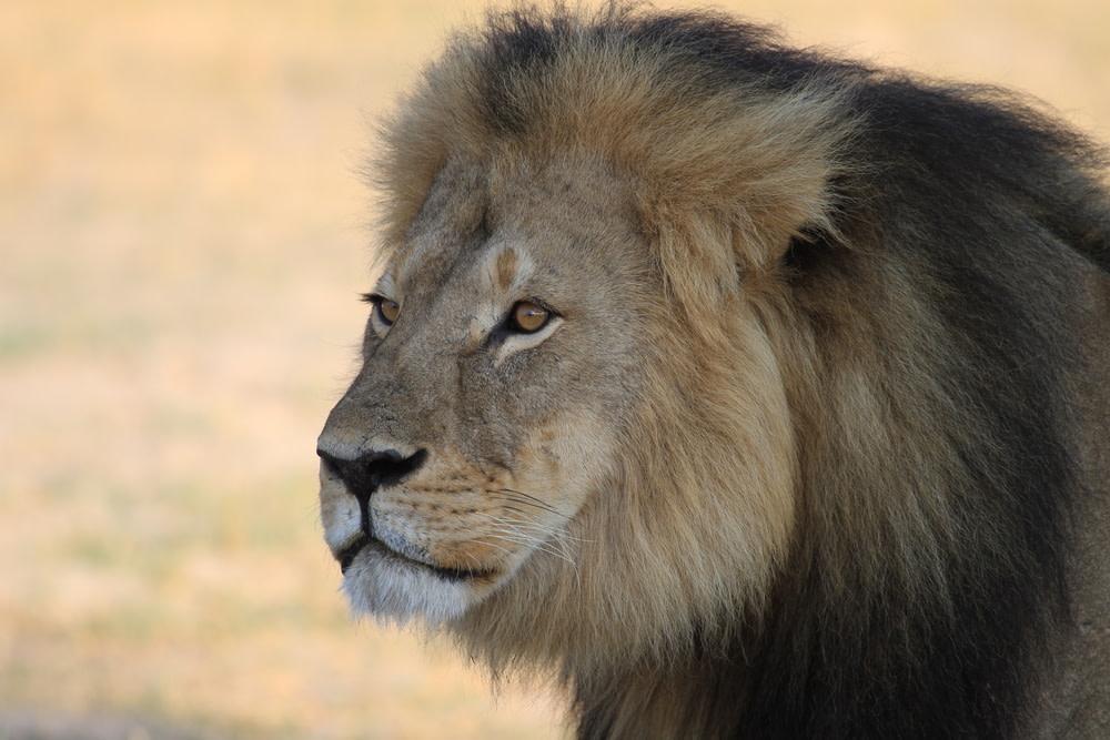Cecil the lion paula french ksc2hj