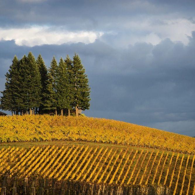 Willamette valley vineyard leaves fall robert crum ulnnad