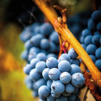 0913 troon vineyard grapes ypkewt