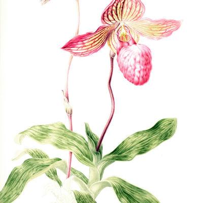 0804 096 orchids opener gtuexa