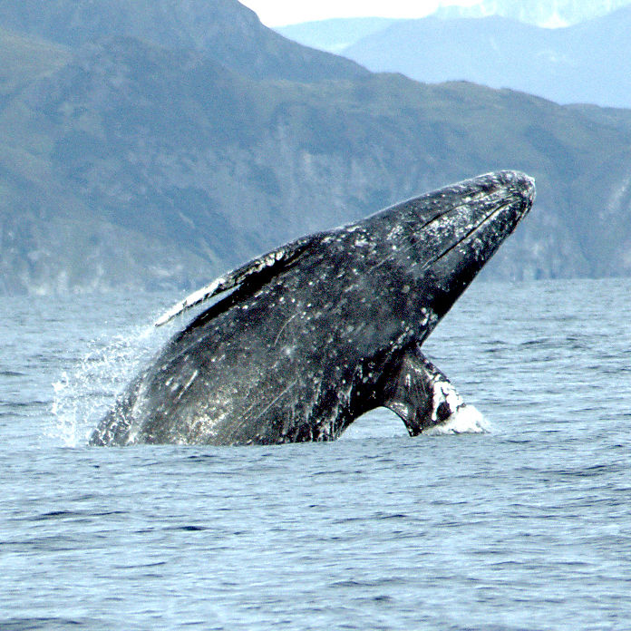 Gray whale merrill gosho noaa2 crop guv9dx