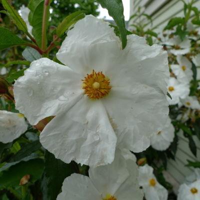 Cistus blanche w raindrop goxraw
