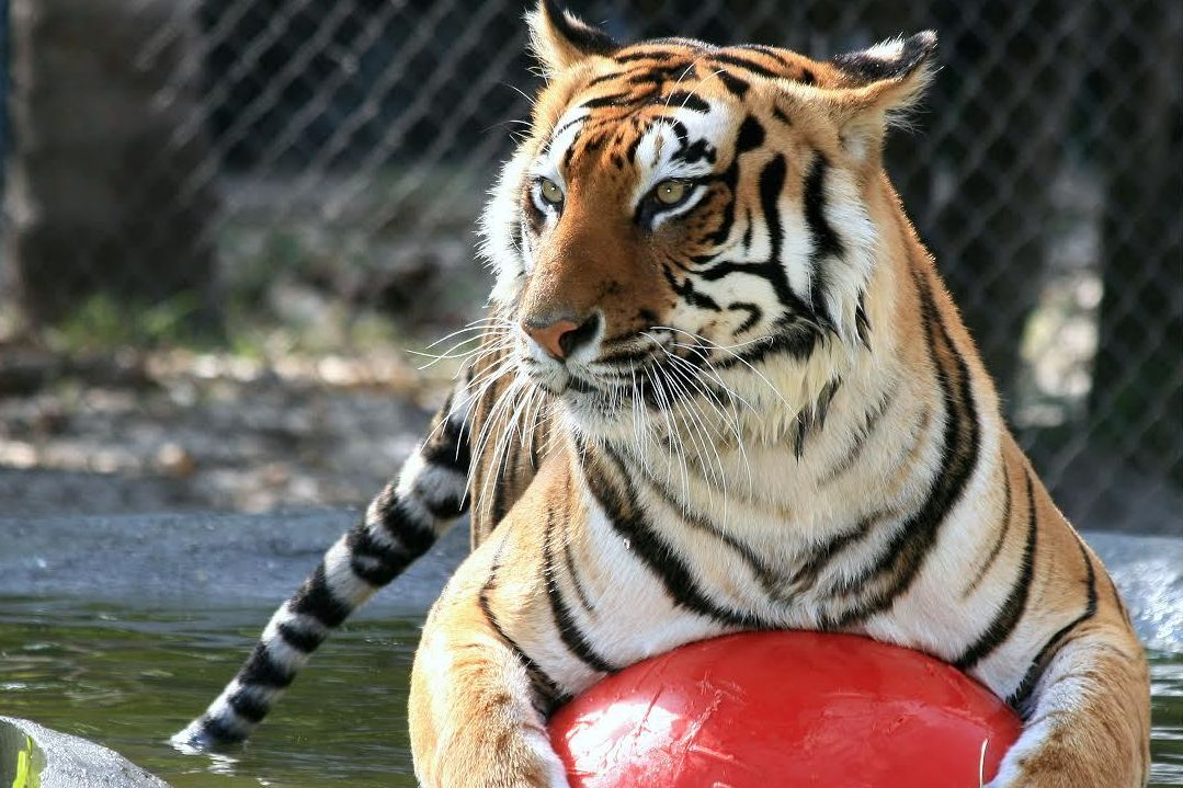 Tigerinpoolwithball suab2y