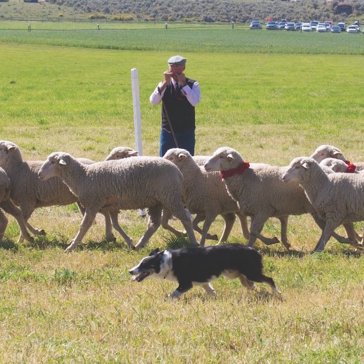 0816 sheepdog finals xgwtqm