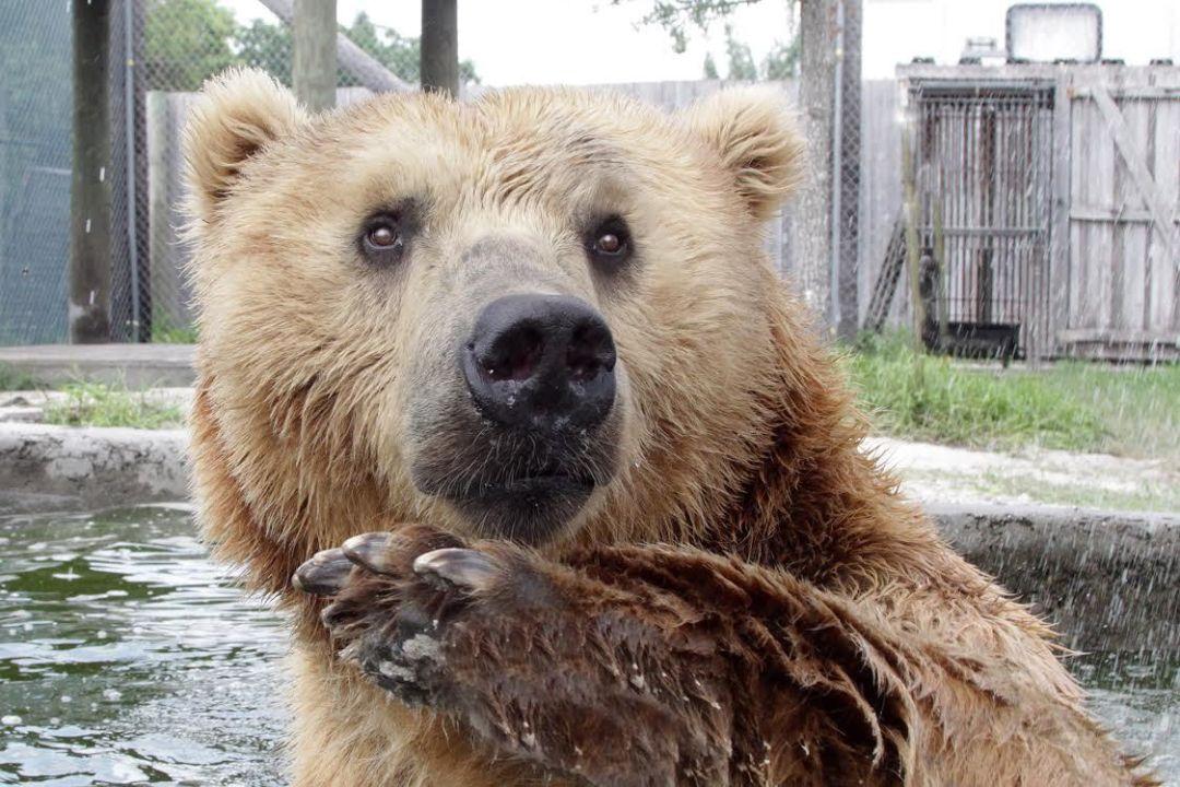 Buck the kodiak bear bpnvfs