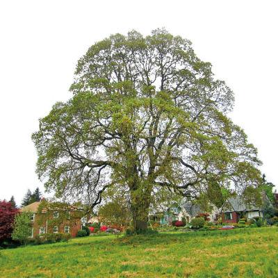 0113 north portland heritage tree gyhfnu