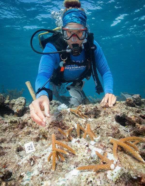 A diver replanting staghorn coral. The coral fragments are attached to the reef with epoxy and tagged to keep track of genetic information. Credit: Coral Restoration Foundation