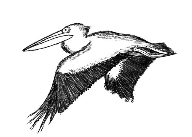 Pelican zetwht