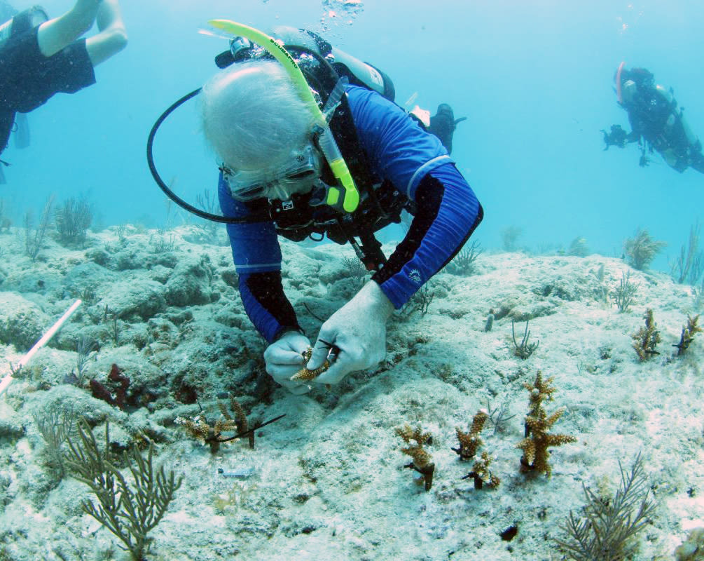 Mote president and CEO Dr. Michael P. Crosby attaches a staghorn coral fragment on a reef.